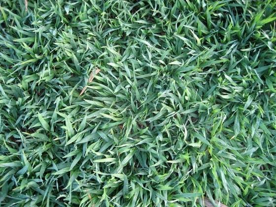 comprar grama batatais para decoração valor Belém