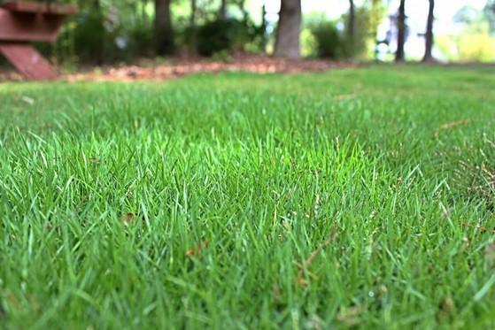 distribuidora de grama esmeralda folha fina Atibaia