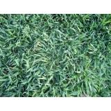 grama batatais para decoração valor Campo Grande