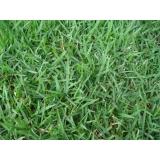 grama esmeralda folha fina Porto Velho