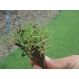 plantio de grama em mudas Amparo