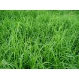 plantio de grama tifton