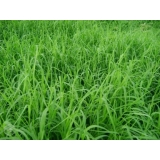 quanto custa plantio de grama tifton Taubaté
