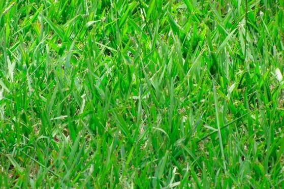 Venda de Grama Batatais para Jardim com Qualidade Araraquara - Grama Batatais para Decoração